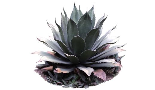 Cactus-Silk-Plant.jpg