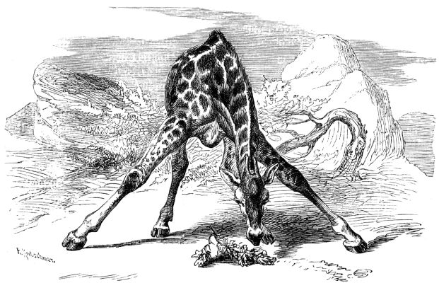Giraffe_head_at_ground1877.jpg