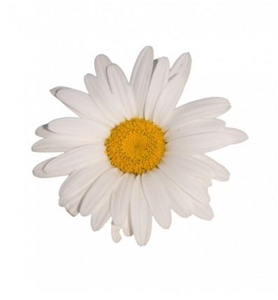 fleur-marguerite.jpg